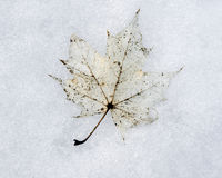 Maple leaf in snow Royalty Free Stock Images