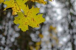 Maple. Leaf with some nice bokeh. Town Koria, Kouvola, Finland Royalty Free Stock Photos
