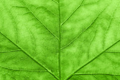 Maple leaf in spring. Royalty Free Stock Images
