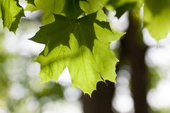 Maple Leaf in Spring. The green leaves of a maple tree in the spring sunlight Royalty Free Stock Photos