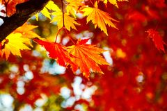 Maple leaf on spruce royalty free stock photography