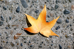 Maple Leaf On Stone Pavement Stock Photo