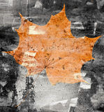 Maple leaf on a stone wall Stock Photo