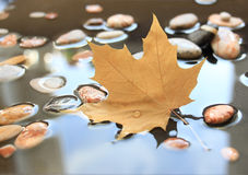 Maple leaf and stones in water royalty free stock photo