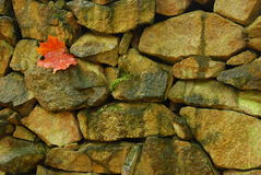 Maple leaf at stonewall Stock Photography