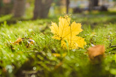 Maple leaf in the sun Royalty Free Stock Images