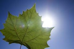 Maple Leaf Sunbeam Stock Photo