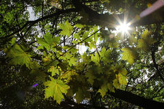 Maple leaf and sunbeam Stock Image