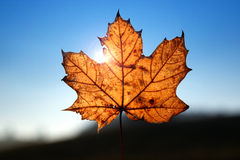 Maple leaf. In sunlight and blue sky Royalty Free Stock Photos