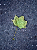 Maple leaf on tarmac road Stock Photography