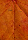 Maple leaf texture. Texture of red maple leaf in autumn. Vertical close up Royalty Free Stock Photo