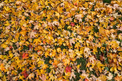 Maple Leaf Texture Royalty Free Stock Images