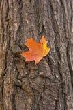 Maple leaf on tree. Maple leaf in autumn caught on tree Stock Photo