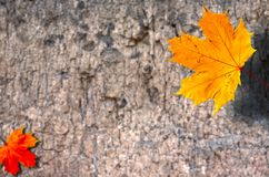 Maple Leaf. On the tree Stock Image