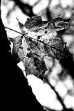 Maple leaf on a tree (infrared filter) Stock Images