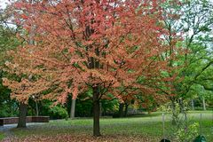 A  nice view of a maple tree stock images