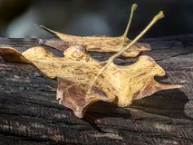 Maple Leaf On A Tree Trunk. Dried out in the fall autumn Stock Photos