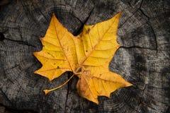 Maple Leaf on tree trunk Stock Image