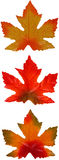 Maple Leaf Trio Royalty Free Stock Image