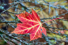 Maple Leaf in Twigs. A vividly colorful fallen maple leaf is caught in twigs in Michigan's North Woods Stock Photography