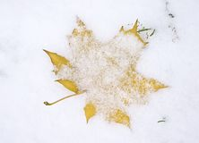 maple leaf under first snow royalty free stock photos