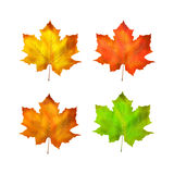 Maple leaf vector illustration Royalty Free Stock Images