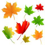 Maple Leaf. Vector illustration of colorful maple leaf Royalty Free Stock Image