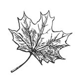 Maple leaf. Vector vintage engraved illustration.  on white background. Royalty Free Stock Photo