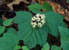 Maple-leaf Viburnum Flowers Royalty Free Stock Images