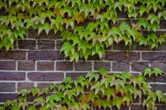 Maple leaf. On the wall Royalty Free Stock Image
