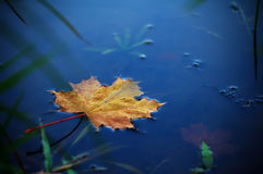 Maple leaf on water. Autumn maple leaf on water Stock Photo