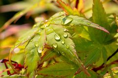 Maple leaf and water drops Royalty Free Stock Photos