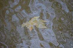 Maple leaf in water. Fallen maple leaf in water Royalty Free Stock Images