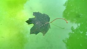 maple leaf on water Royalty Free Stock Photos