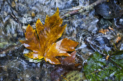 Maple Leaf on Water. Looking down on a leaf on flowing water Stock Photography