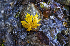 Maple Leaf on Water. Looking down on a leaf on flowing water Royalty Free Stock Photo
