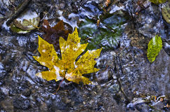 Maple Leaf on Water. Looking down on a leaf on flowing water Stock Photos