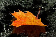 Maple leaf in water Stock Photos
