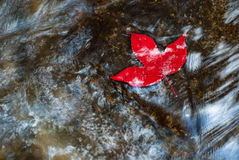 Maple leaf in the water Stock Photos