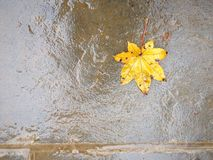 Maple leaf on wet floor Stock Images