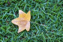 Maple leaf on wet grass background stock photography