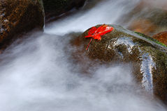 Maple leaf on wet rock. Maple leaf in Autumn on a wet rock in a fast flowing stream Royalty Free Stock Images