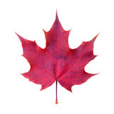 Maple leaf on white. Clean, symmetrical, red maple leaf on white Stock Photo