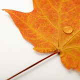 Maple leaf on white. Royalty Free Stock Photo