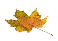 Maple leaf on white Royalty Free Stock Photo