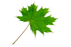 Maple leaf. On a white background Stock Photos