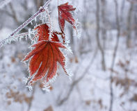 Maple leaf in winter. Royalty Free Stock Photo