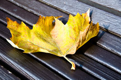 Maple leaf on wooden bench Royalty Free Stock Image