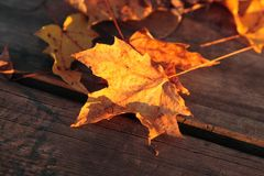 Maple leaf on a wooden table. Golden autumn maple leaf on a wooden table lit by the setting sun royalty free stock photo