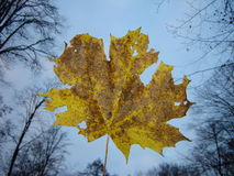Maple leaf. Yellow brown single maple leaf is flying down: deep autumn in the forest, blue sky and trees without leaves Royalty Free Stock Photography